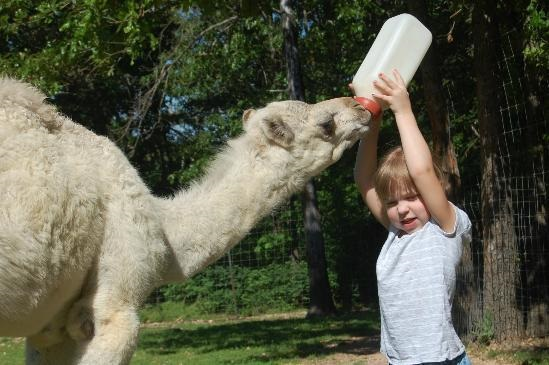bottle feeding a baby camel